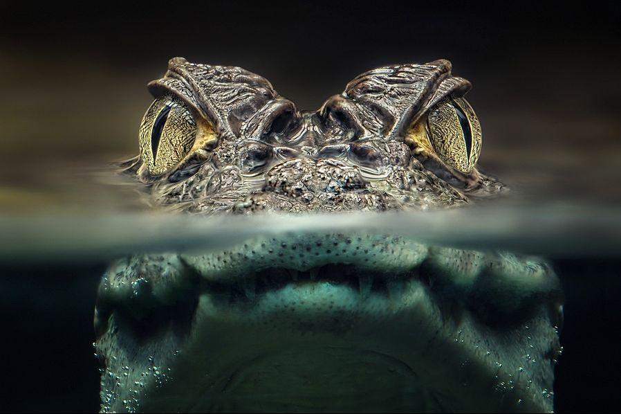 Aligator-novosti